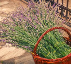 about_lavender